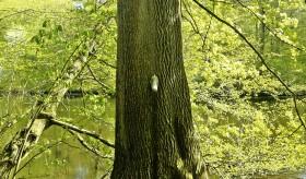 Pinkelbaum: a árvore que faz xixi